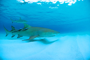 Lemon shark (Negaprion brevirostrus) together with Blacktip reef shark (Carcharhinus melanopterus) and three remoras just before sunset, Picard Island, Aldabra, Indian Ocean
