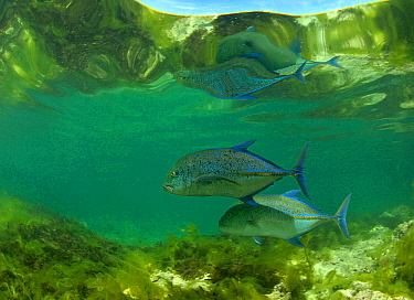 Bluefin trevallies (Caranx melampygus) in Passe Dubois / Dubois channel, Aldabra, Indian Ocean