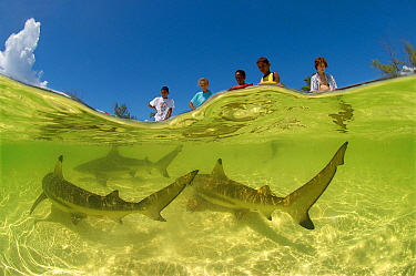 Blacktip reef shark (Carcharhinus melanopterus) near beach with people watching, Picard Island, Aldabra, Indian Ocean