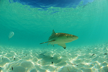 Blacktip reef shark (Carcharhinus melanopterus) and trevally (Caranx sp) in shallow water close to the beach, Picard island, Aldabra, Indian Ocean