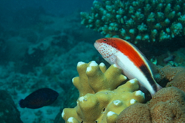 Black-sided hawkfish (Paracirrhites forsteri) above coral reef, outer reef, Aldabra, Indian Ocean