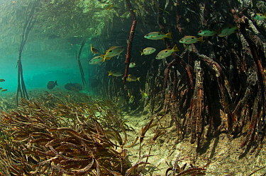 Blackspot snappers (Lutjanus fulviflamma) in the mangroves, Passe Grande Magnan / Magnan channel, Aldabra, Indian Ocean