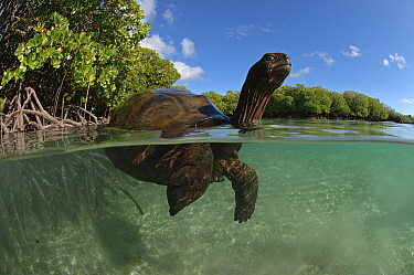 Split level view of Aldabra giant tortoise (Aldabrachelys gigantea) swimming in Passe Grande Magnan / Magnan channel, Aldabra, Indian Ocean Image taken under controlled conditions.