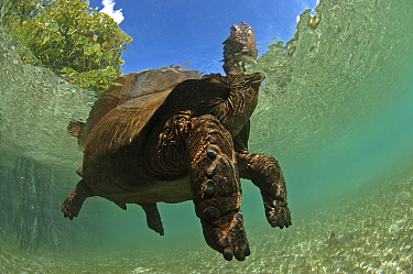 Aldabra giant tortoise (Aldabrachelys gigantea) swimming in Passe Grande Magnan / Magnan channel, Aldabra, Indian Ocean Image taken under controlled conditions.