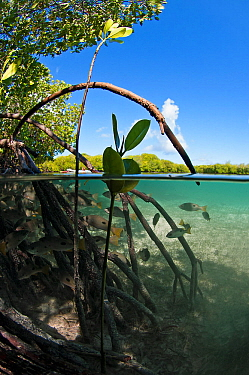 Split level view of Blackspot snappers (Lutjanus fulviflamma) in shallow mangrove lagoon, Passe Grande Magnan / Magnan channel, Aldabra, Indian Ocean
