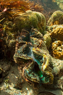Giant clam (Tridacna gigas) in the shallow reef, Passe Femme / Femme channel, Aldabra, Indian Ocean
