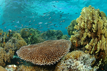 Coral reef habitat with mixed corals and fish. In the Aldabra lagoon there is no strong tidal current, this means very brittle coral can survive here, Aldabra, Indian Ocean