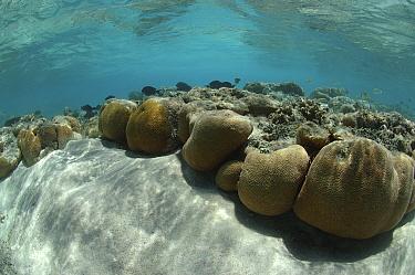 Epaulette surgeon fish (Acanthurus nigricauda) over Brain and other coral species in the main channel. Aldabra, Indian Ocean