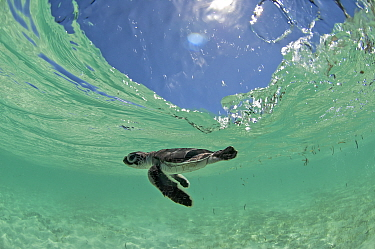 Green Turtle (Chelonia mydas) hatchling swims towards the deep part of the sea to escape from possible predators, Anse de Mais, West Grande Terre, Aldabra, Indian Ocean