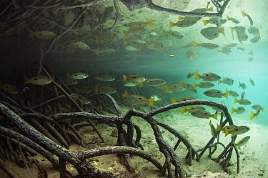 Blackspot snappers (Lutjanus fulviflamma) between the roots of mangroves of shallow Johnny Channel, Aldabra, Indian Ocean