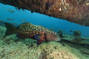 Grouper (Epinephelus sp) under the propeller shaft of Steamship Lion at the South-East side of Grande Terre, Aldabra, Indian Ocean