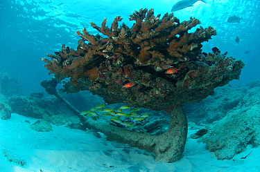 Anchor with coral and shoals of fish near the wreck of Steamship Lion, Grande Terre, Aldabra, Indian Ocean