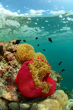 East channel reef with anemones, on the water surface floats sea foam from the draining lagoon, East Aldabra, 2005