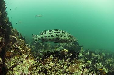 Potato grouper (Epinephelus tukala) in the East Channel, Aldabra, Indian Ocean