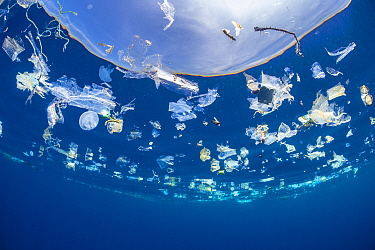 Jellyfish (Catostylus sp.) swimming in a slick of plastic debris. Turtles feed on jellies such as these and this photo shows how easily they can get confused and feed on plastic instead. Indian Ocean...