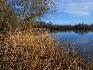 Reeds (Phragmites australis) in Ivy Lake from South Ivy Hide, Blashford Lakes Nature Reserve. Hampshire and Isle of Wight Wildlife Trust Reserve, Ellingham, near Ringwood, Hampshire, England, UK, Janu...