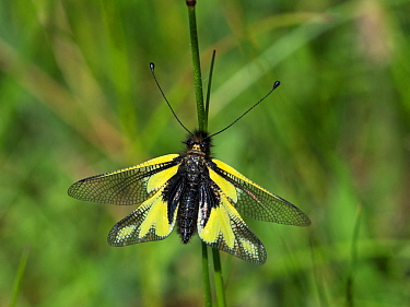 Owlfly (Libelloides coccajus) resting on a grass stem, near the Col de Menee, Vercors Regional Natural Park, France, June