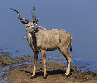 Kudu (Tragelaphus strepsiceros) male, with Yellow-billed oxpecker (Buphagus africanus), Mana Pools National Park, Zimbabwe.