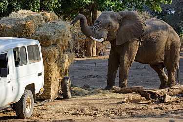 African elephant (Loxodonta africana) feeding on hay from a broken trailer laden with hay for distribution to starving animals during drought. Mana Pools National Park, Zimbabwe, September 2019.