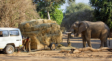 African elephant (Loxodonta africana) helping itself to hay whilst a man repairs a trailer laden with hay for distribution to starving animals during drought. Mana Pools National Park, Zimbabwe, Septe...