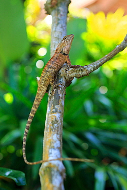 Garden lizard (Calotes versicolor) on branch in coastal resort on Phuket Island, Thailand. March, urban wildlife.