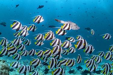 Pennant coralfish (Heniochus acuminatus), shoal, Maldives