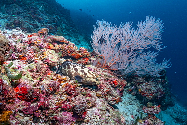 Maldives tropical reef community. Grouper on mostly dead or dying coral reef following several bleaching events, the latest in 2016. Kurumba, Male Atoll, Maldives