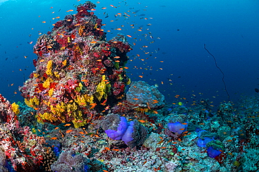 Maldives tropical reef community taking over dead or dying coral reef following several bleaching events, the latest in 2016. Mutafushi Thila, Baa Atoll, Maldives