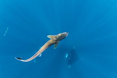 Remora (Remora remora), freeswimming near Manta Ray, Dhikkurendho Reef, Raa Atoll, Maldives.