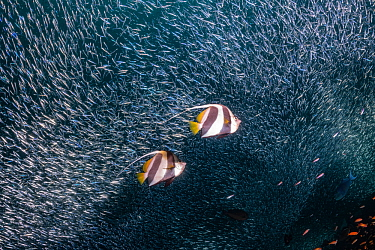 Pennant coralfish (Heniochus acuminatus), with schooling baitfish. Christmas Rock, Noonu Atoll, Maldives.