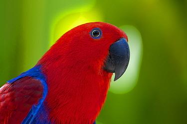 Eclectus parrot (Eclectus roratus). Captive, Bali Bird Park, Denpasar, Bali, Indonesia