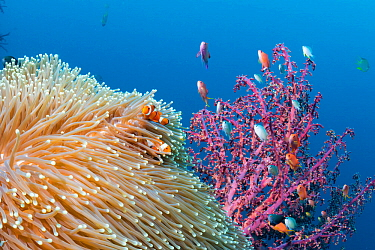 False clown anemonefish (Amphiprion ocellaris) Tulamben, North coast, Bali, Indonesia. Lesser Sunda Islands.