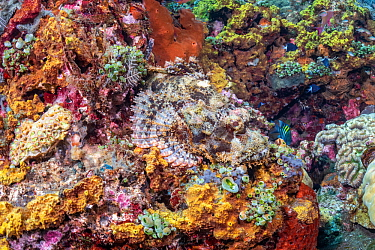 Scorpion fish (Scorpaenidae) camouflaged on reef, Tulamben, Bali, Indonesia. Lesser Sunda Islands.