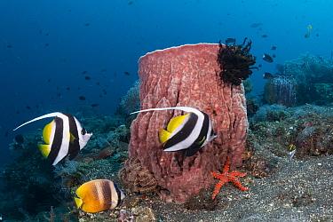 Pennant coralfish (Heniochus acuminatus) with Giant barrel coral (Xestospongia muta) Tulamben, Bali, Indonesia. Lesser Sunda Islands.