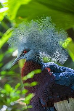 Southern crowned-pigeon (Goura scheepmakeri) Bali Bird Park, Denpasar, Bali, Indonesia. Captive.