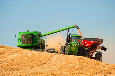 Combine harvesting wheat and unloading into hopper while both vehicles are moving, Washington, USA, August
