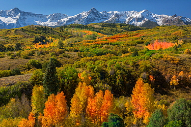 Autumn colours below the Sneffels Range in the Rocky Mountains, from Dallas Divide. Uncompahgre National Forest, Colorado, USA. October.