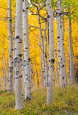 Autumn quaking aspen grove (Populus tremuloides) with trunks scarred by browsing elk (Cervus canadensis). Below Turret Ridge, Uncompahgre National Forest, Colorado, USA. October.