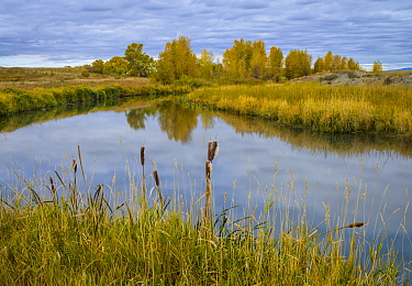 Cattail (Typha sp.) and cottonwood trees surrounding a prairie slough / marsh. Montana, USA, October.