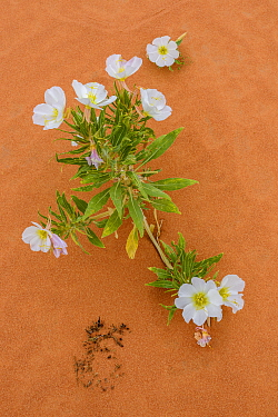 Dune evening primose (Oenothera deltoides), Valley of Fire State Park, Nevada, USA, May.