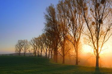 Row of Poplar trees (Populus tremula) at sunrise, Uckermark, Germany
