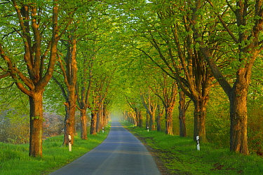 Chestnut trees (Aesculus hippocastanum) lining road, Uckermark, Germany, April.