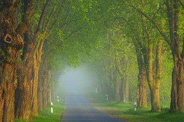 Chestnut tree (Aesculus hippocastanum) lined avenue, Uckermark, Germany, April.
