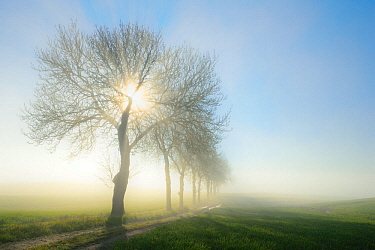 Tree-lined road in dawn mist, Uckermark, Germany, April.