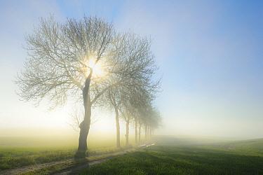 Tree-lined road in dawn mist, Uckermark, Germany, April.