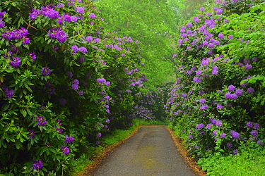 Common rhododendron (Rhododendron ponticum) lined path, Semper Park , Ruegen, Germany, March.