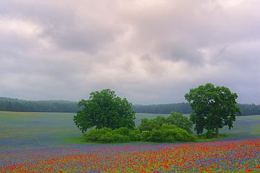 Field with flowering Cornflowers (Centaurea cyanus) and Poppies (Papaver rhoeas) Kargow, Germany, June.