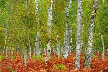 Birch trees (Betula sp) and Bracken (Pteridium aquilinum) Ahrenshoop, Germany, October.