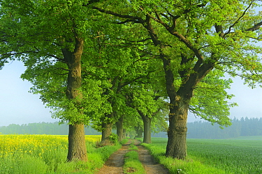Farm track lined with Oak trees (Quercus robur) Demmin, Germany