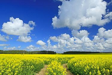 Oil seed rape (Brassica napus) field, Ruegen, Germany, May.